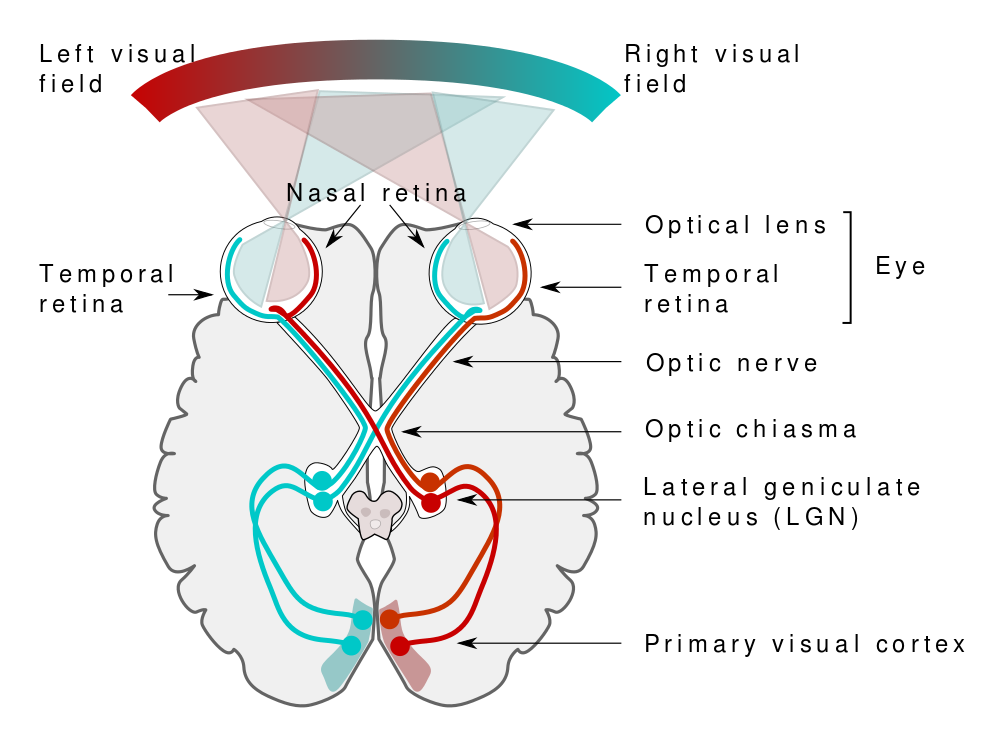 Anatomical Positions Planes Directions likewise Medulla Oblongata together with Anatomy Of The Hip in addition Visual Cortex as well Occipital Lobe Ppt. on right ventral lateral superior