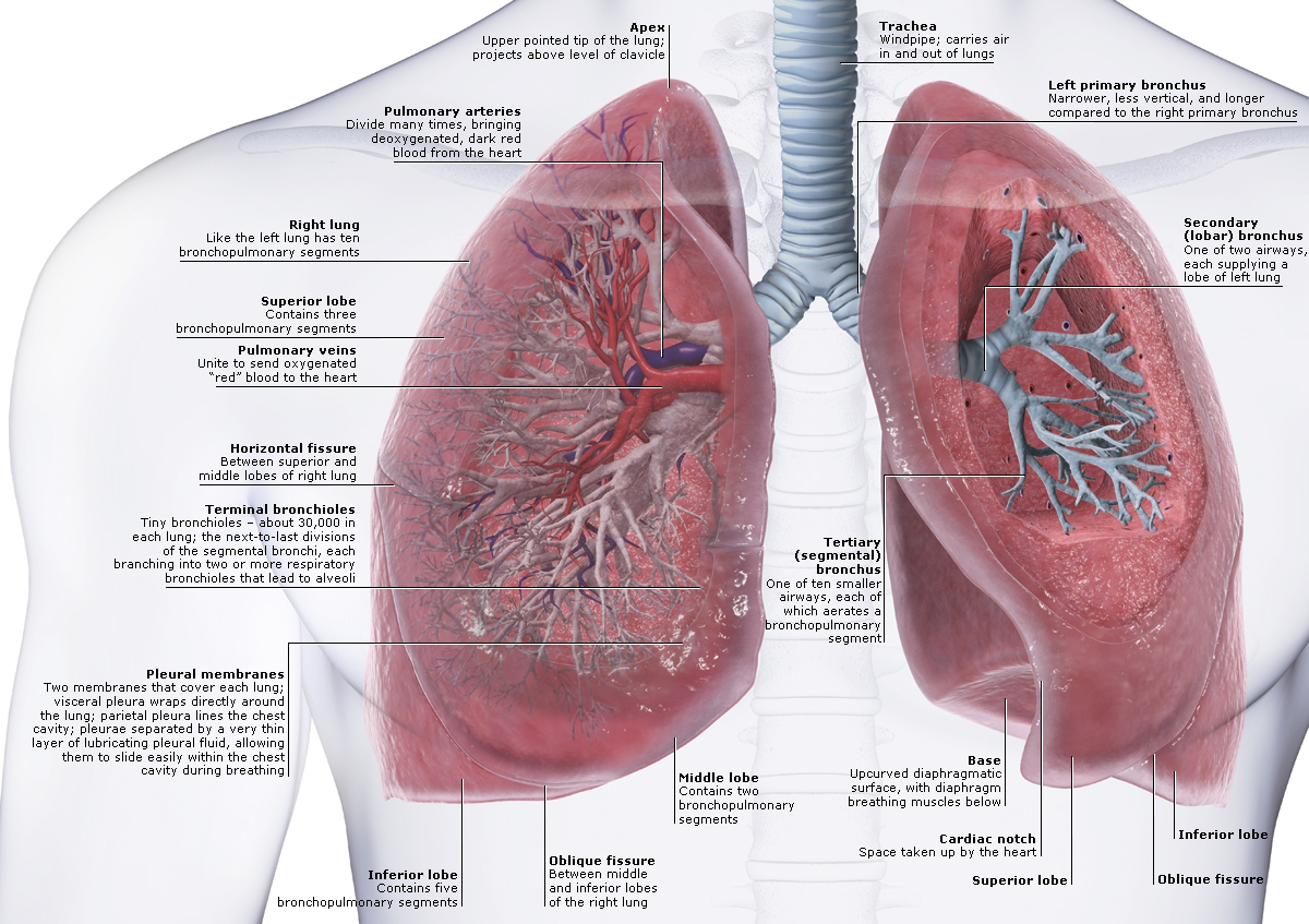Lungs Anatomy | Faculty of Medicine