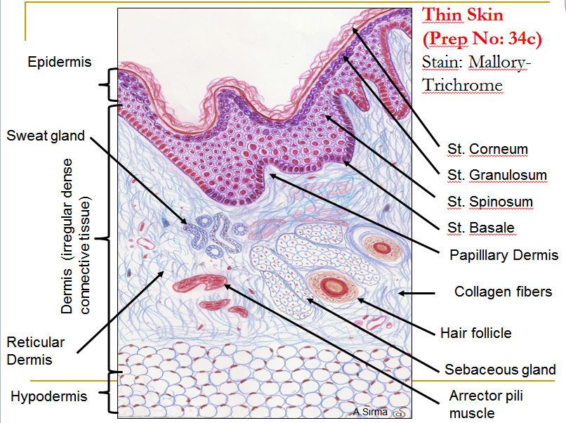 Histology Of Skin Faculty Of Medicine
