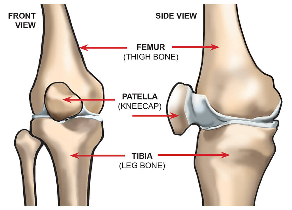 Knee Joint Anatomy | Faculty of Medicine