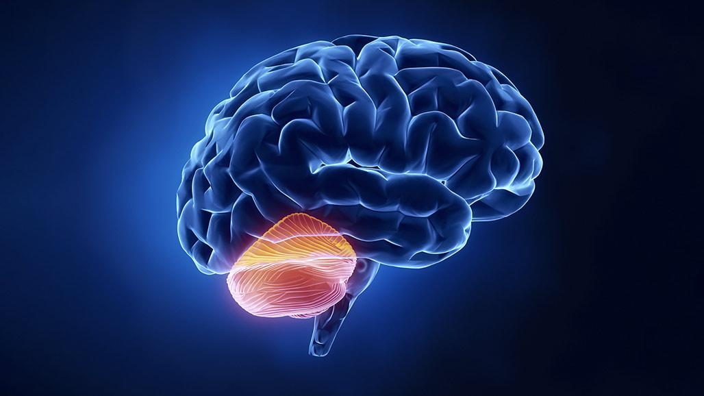"""""""little Brain"""" Or Cerebellum Not So Little After All ..."""