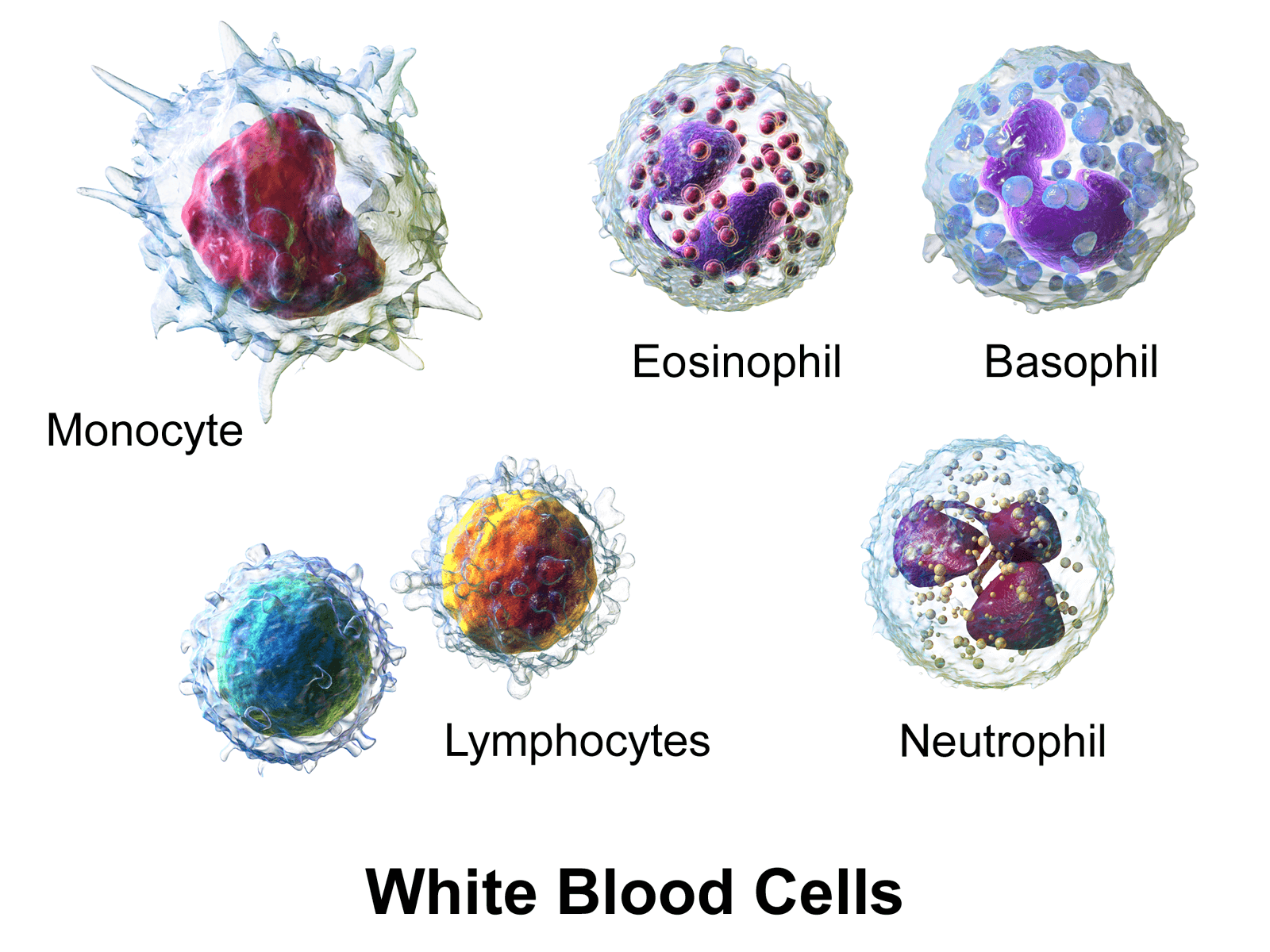 an in depth look at leukocytes and the leukocyte deferential count Blood collection and analysis differential white blood cell count procedure: 1) deficiencies of leukocytes are referred to as leukopenia.