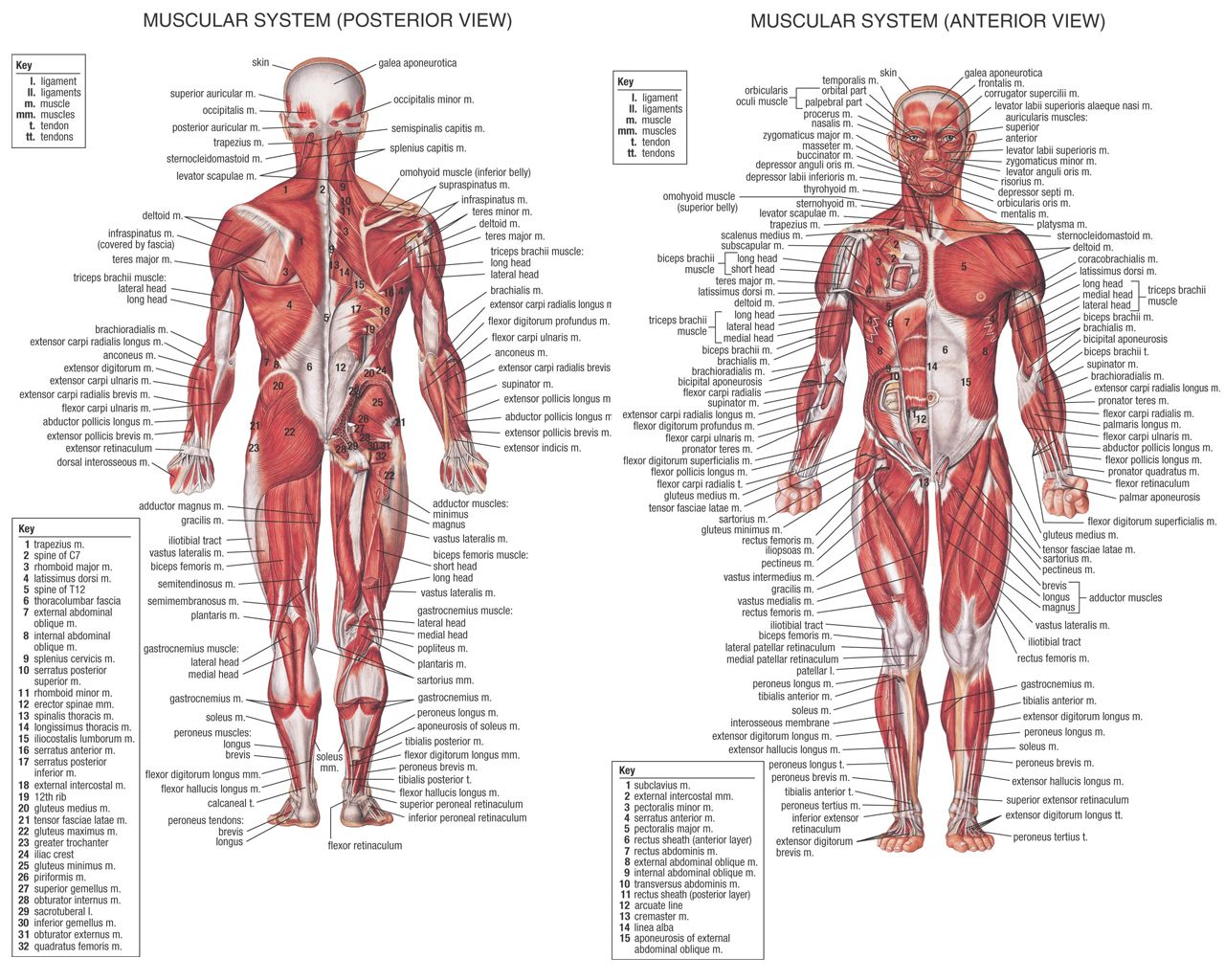 diagram of the muscles of the human body – citybeauty, Muscles
